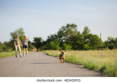 Nice staffordshire terrier, dog running with big stick. loving couple on roller skates in the background. front view.