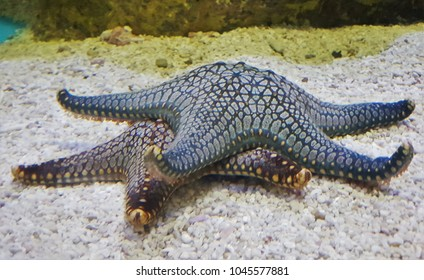 Nice starfishs in aquarium. Starfish or sea stars are marine invertebrates. They are star-shaped echinoderms belonging to the class Asteroidea. They typically have a central disc and five arms.