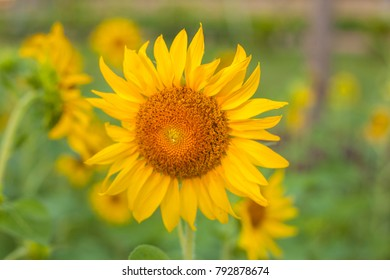 Nice Sun flower shallow focus.