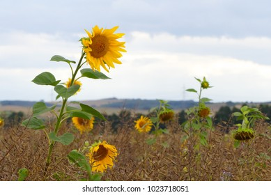 nice sunflower with leaves