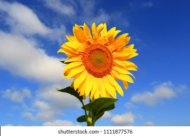 Nice sunflower on blue sky background in summer day