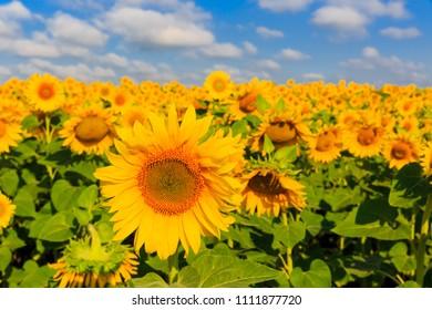 Nice sunflowers field under blue sky witj white clouds