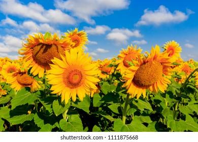 nice sunflowers on farming meadow