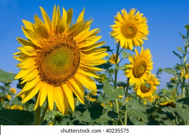 Nice sunflowers at summer time