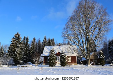 Nice sunny snowy winter scene under blue sky with a typical estonian brown country house amongst different trees, big bare oak on right side, firs on left, two cone shaped bushes in front of the door