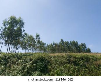Nice tall green trees