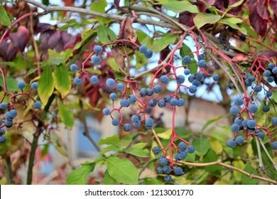 nice tender blue virginia creeper fruits in autumn