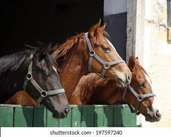 Nice thoroughbred foals iat the stable door.Youngster horses in the barn