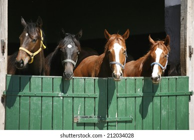 Nice thoroughbred foals in the stable. Purebred horses in the barn door