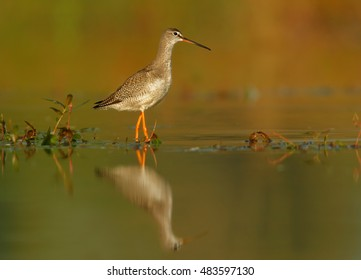 Nice view on Tringa erythropus, Spotted redshank, shorebird in its typical environment, looking for insects, mirroring in water. Ground level photo. Migratory stop in wetlands of  Czech republic.