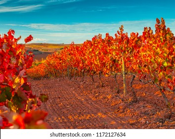 Nice vineyard in autumn