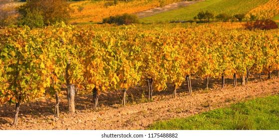 Nice vineyard in autumn