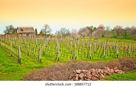 Nice vineyard in Hungary