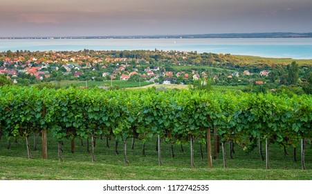 Nice vineyard in Hungary at lake Balaton