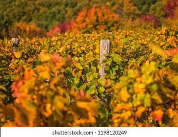 Nice vineyard at lake Balaton in autumn