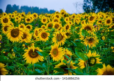 nice and warm in summer field with blooming sunflower blossoms.