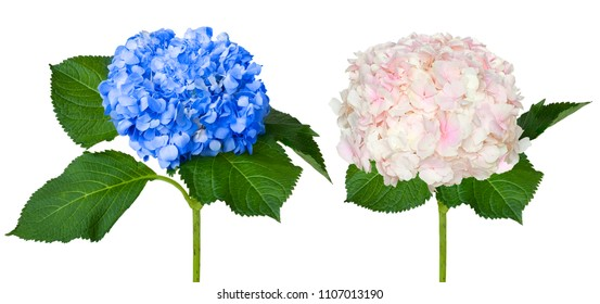 Nice white and blue hydrangeas isolated on a white background