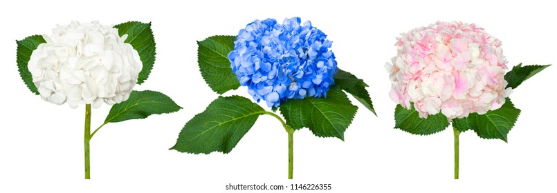 Nice white,  blue and pink  hydrangeas isolated on a white background