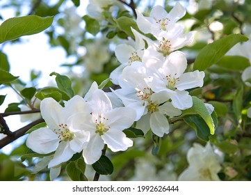 Nice white flowers on branch of an apple tree