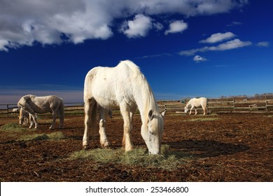 Nice white horse feed on hay with three horses in background, dark blue sky with clouds, Camargue, France.