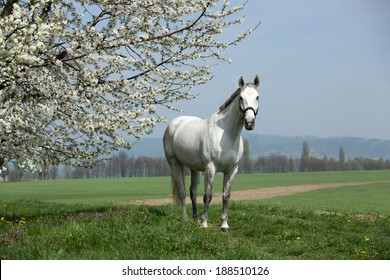Nice white horse posing with blossoming tree