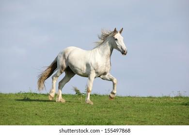 Nice white warmblood horse running on horizon