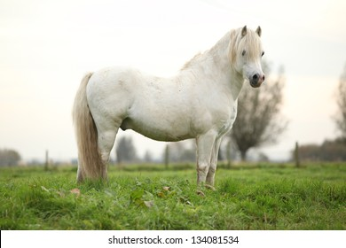 Nice white welsh pony standing on green grass