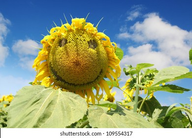 Nice yellow happy face sunflower against a blue sky