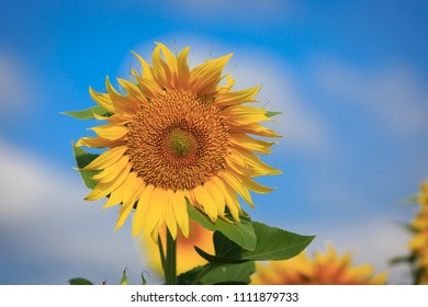 nice yellow sunflower on summer sky background