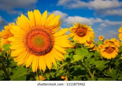 nice yellow sunflowers on farming field