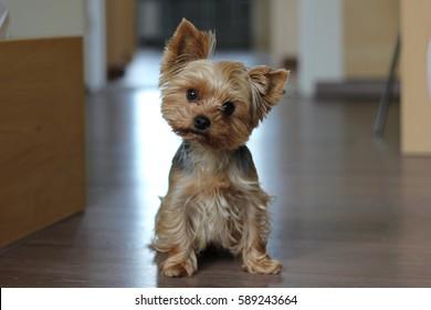 Nice yorkshire terrier dog
