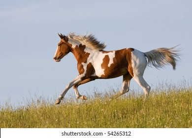 Nice young appaloosa horse running