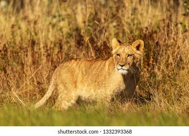 nice young lioness (Panthera leo) in the savanna