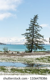 Nicely shaped pine tree on the shores of Lake Tekapo, with the lake and snowy mountains in the background. In Tekapo, Canterbury, New Zealand.