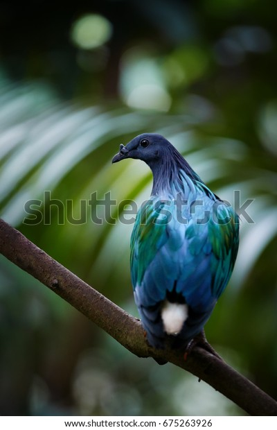 Nicobar pigeon, Caloenas nicobarica, blue and violet colored pigeon, CITES bird from Nicobar islands, India. Vertical photo of very colourful dove in its natural, tropical environment.