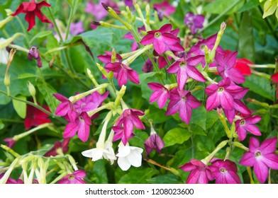 nicotiana alata or jasmine tobacco red and white flowers