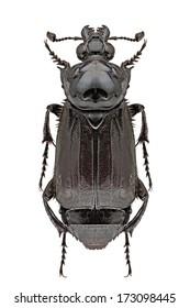 Nicrophorus humator (Gleditsch, 1767)