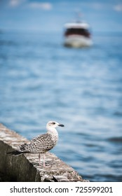 NIDA, LITHUANIA - September 7, 2017. Seagull standing on jetty breakwater in front of ship