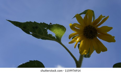 słonecznik niebo kwitnąć - Shutterstock ID 1159976914