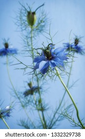 Nigella 'Love in The Mist' an annual plant. Photographed on a blue background.