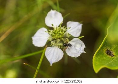 Nigella arvensis L. subsp. arvensis, nigella, devil-in-a-bush, love-in-a-mist gently blue flowers with a green heart.