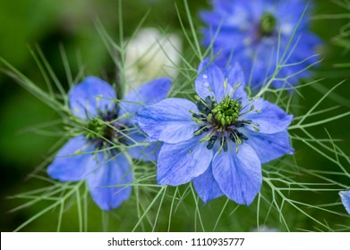 Nigella damascena early summer flowering plant with different shades of blue flowers on small green shrub, beautiful ornamental garden plant