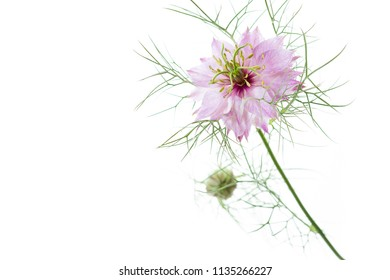Nigella damascena flower on white background