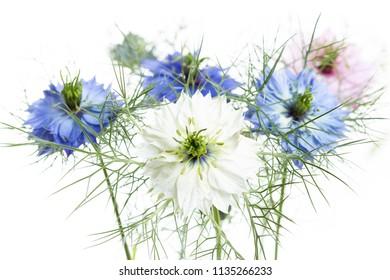 Nigella damascena flower on white background, shallow DOF