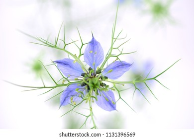 Nigella Sativa (Also Black Caraway, Black Cumin, Nigella, and Kalonji). Closely related to Nigella Damascena (Also Love-in-a-mist, Ragged Lady or Devil in the bush). Isolated on White Background