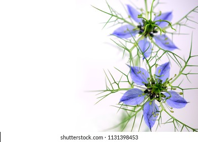 Nigella Sativa (Also Black Caraway, Black Cumin and Kalonji Seeds or Oil). Add Label, Text or Logotype. Isolated on White Background.