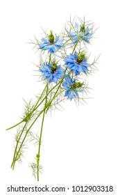 Nigella Sativa flower on white background