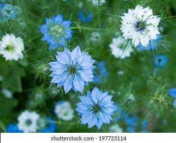 Nigella sativa - nature blue / white flowers, differential focus.