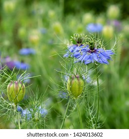 Nigella Spanish sky blue flower. It can be used in medecine, fragrant tea, as decoration of flower beds, lawns.