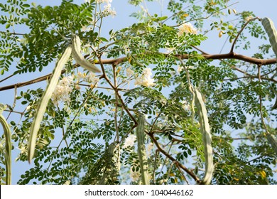 Nigerian Zogele plant (Moringa oleifera) Moringa leaves, Moringa flower on tree and blue sky